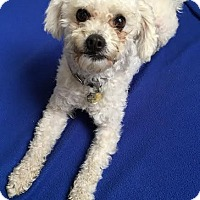 Poodle (Miniature) Mix Dog for adoption in Seal Beach, California - Grover