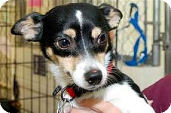 Rat Terrier/Papillon Mix Dog for adoption in Mountain Home, Arkansas - George