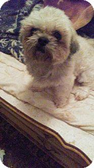 Shih Tzu Dog for adoption in Hurricane, Utah - Bentley