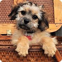 Adopt A Pet :: *Gibbs - PENDING - Westport, CT