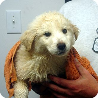 Golden Retriever/Labrador Retriever Mix Puppy for adoption in baltimore, Maryland - Vincent