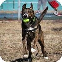 Adopt A Pet :: Tio - Austin, TX
