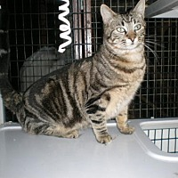Domestic Shorthair Cat for adoption in West Hills, California - Harold