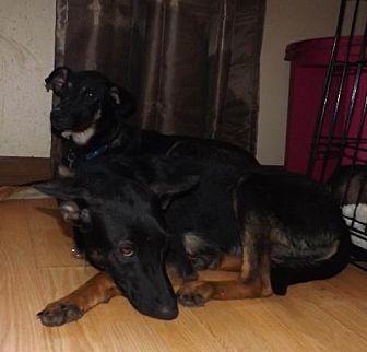 German Shepherd Dog Dog for adoption in Citrus Springs, Florida - Carmen