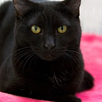 Domestic Shorthair Cat for adoption in St Louis, Missouri - Spike