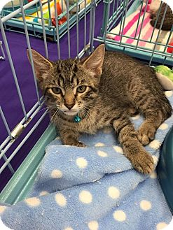 Domestic Mediumhair Kitten for adoption in Mansfield, Texas - Bravo