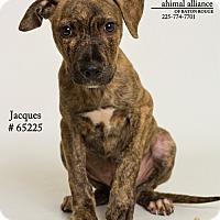 Adopt A Pet :: Jacques - Baton Rouge, LA