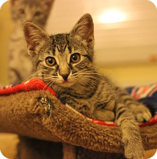 Domestic Shorthair Kitten for adoption in Carlisle, Pennsylvania - Hope