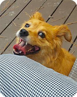 Papillon Mix Dog for adoption in Alpharetta, Georgia - KizzyBrown