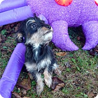 Yorkie, Yorkshire Terrier Mix Puppy for adoption in Inver Grove, Minnesota - Whiskers