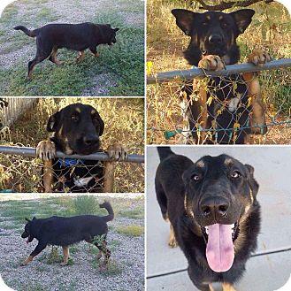 German Shepherd Dog/Border Collie Mix Dog for adoption in Phoenix, Arizona - Titan