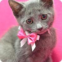 Domestic Shorthair Kitten for adoption in Atlanta, Georgia - Fluttershy 161548