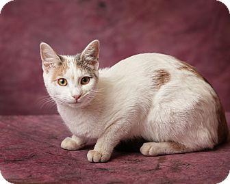 Calico Cat for adoption in Harrisonburg, Virginia - Precious