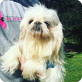 Pekingese/Shih Tzu Mix Dog for adoption in Thousand Oaks, California - Peg