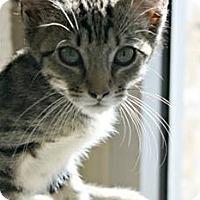 Adopt A Pet :: Apollo - Richland Hills, TX
