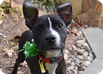 Boxer Mix Puppy for adoption in MCLEAN, Virginia - Chaos