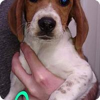 Adopt A Pet :: Creek - Garden City, MI