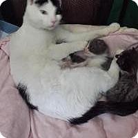 Adopt A Pet :: Duchess - Santa Cruz, CA