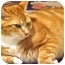 Photo 1 - Domestic Shorthair Cat for adoption in Columbia, Maryland - Sizzle