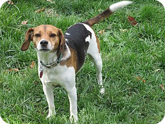 Beagle Dog for adoption in Indianapolis, Indiana - Andy