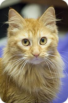 Domestic Longhair Cat for adoption in Chicago, Illinois - Susette