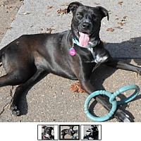 Labrador Retriever Mix Dog for adoption in Marion, North Carolina - Juniper