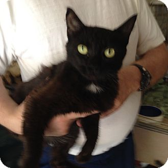 Domestic Shorthair Cat for adoption in Massillon, Ohio - STAR