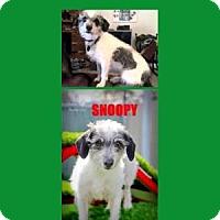 Adopt A Pet :: Snoopy - Scottsdale, AZ