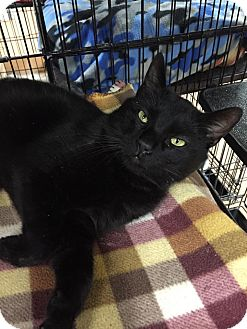 Domestic Shorthair Cat for adoption in Blasdell, New York - Jake
