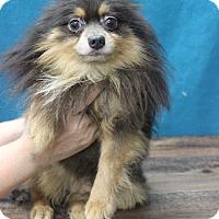 Adopt A Pet :: Avenger - Waldorf, MD