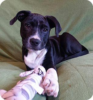 Adopt A Pet :: Calico  - Snow Hill, NC