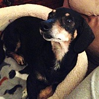 Dachshund Dog for adoption in Pearland, Texas - Jazzie