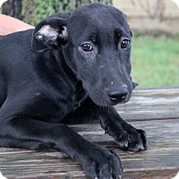 Labrador Retriever/Weimaraner Mix Puppy for adoption in Glastonbury, Connecticut - Devon~ meet me!