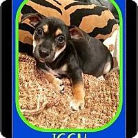 Adopt A Pet :: Iggy - Milton, GA