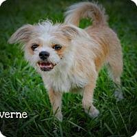 Adopt A Pet :: LAVERNE - BROOKSVILLE, FL
