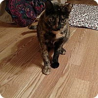 Domestic Shorthair Cat for adoption in Tampa, Florida - Clementine