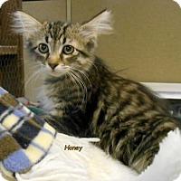 Domestic Longhair Kitten for adoption in Oskaloosa, Iowa - Honey