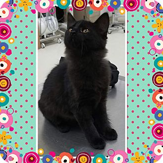 Domestic Shorthair Kitten for adoption in Cedar Springs, Michigan - Baloo