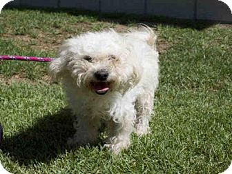 Poodle (Miniature) Mix Dog for adoption in Long Beach, California - *FRAGGLE