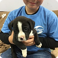 Adopt A Pet :: Apollo - Hawk Point, MO