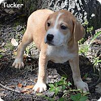 Adopt A Pet :: Tucker - Lake Pansoffkee, FL