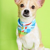 Chihuahua Mix Dog for adoption in Phoenix, Arizona - Phoenix