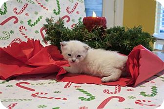 Siamese Kitten for adoption in ROSENBERG, Texas - Marigold