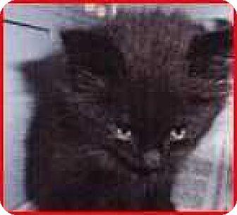 Domestic Shorthair Cat for adoption in Denver, Colorado - Delian