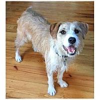 Adopt A Pet :: Biscuit - Little Rock, AR
