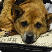 Adopt A Pet :: Captain - Lafayette, IN