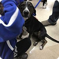 Adopt A Pet :: Ivy - Sparta, NJ