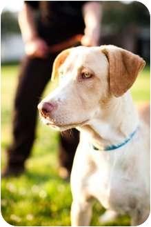 Labrador Retriever Mix Dog for adoption in Houston, Texas - LEILA