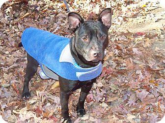 American Pit Bull Terrier Mix Dog for adoption in Alpharetta, Georgia - Zeus