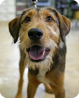 Vance | Adopted Dog | East Hanover, NJ | Airedale Terrier Mix